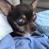 目が見えないルイスくん☆犬大好き☆チワワの男の子 サムネイル6