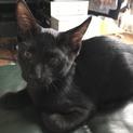 ツキノワグマ柄❤︎黒猫クロちゃん♂3ヶ月