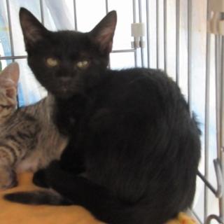 人慣れバツグン!子猫「シルフィ―」黒、オス2か月