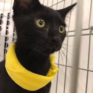 元気印活発な黒猫 3ヶ月
