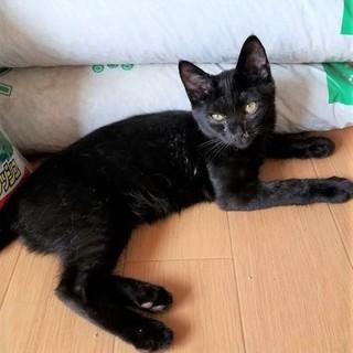 黒猫ウバ君★5ヶ月ワクチン済