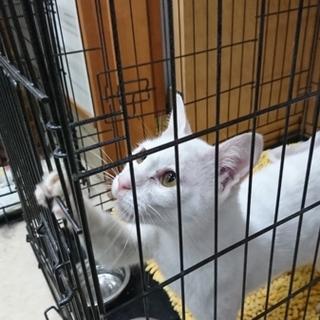 白猫ちゃんの新しい家族を探しています。