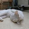 白猫ちゃんの新しい家族を探しています。 サムネイル3