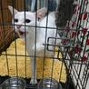 白猫ちゃんの新しい家族を探しています。 サムネイル4