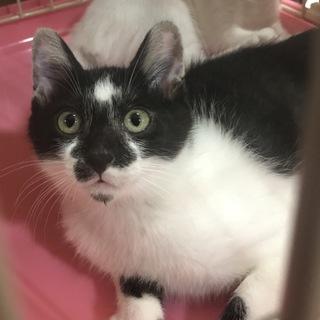 生後約3ヶ月の白黒猫の穏やかな男の子。