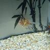 金魚 サムネイル2