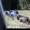 金魚 サムネイル3