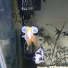金魚 サムネイル4