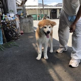 秋田犬 生後5ヶ月の赤の男の子