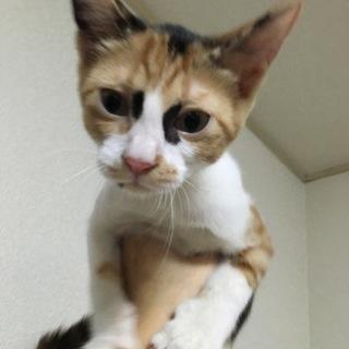 後追いする可愛い三毛猫のアナちゃん