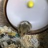 ハムスター床材を食べる行為について