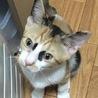 後追いする可愛い三毛猫のアナちゃん サムネイル3