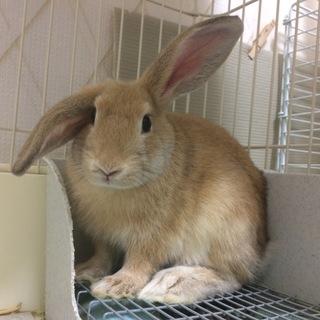 【トライアル決定】フレッドくん(ミニウサギ)