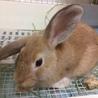 【トライアル決定】フレッドくん(ミニウサギ) サムネイル2