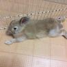 【トライアル決定】フレッドくん(ミニウサギ) サムネイル4