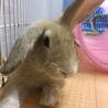 【トライアル決定】フレッドくん(ミニウサギ) サムネイル5