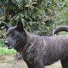 甲斐犬 5歳  牝  サムネイル2