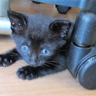 ロク君~ 1か月半黒子猫