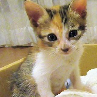 ミコ~三毛猫 ヒト馴れした1か月半女の子