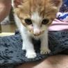 甘えん坊のおとなしい子猫です! サムネイル3