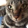可愛いキジ猫の家族になって下さい