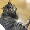 可愛いキジ猫の家族になって下さい サムネイル3