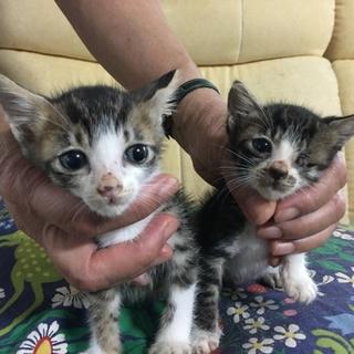 6月末生まれのオス子猫