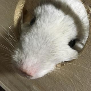 チンチラネズミさん