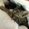 緊急レスキュー子猫7頭②キジトラの男子。仮名:大地 サムネイル4
