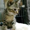 緊急レスキュー子猫7頭②キジトラの男子。仮名:大地 サムネイル5