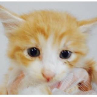 里親さんを待っています。子猫♀茶白