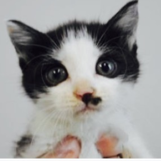 里親さんが待っています。子猫♂白黒