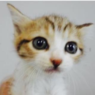 里親さんを待っています。子猫♀茶白黒