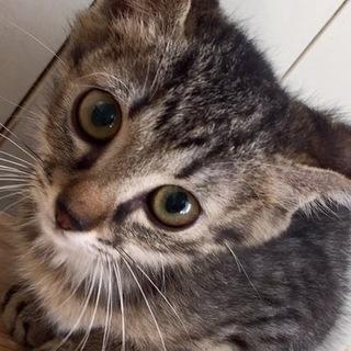 尻尾の長いキジ猫ありさ☆ワクチン血液検査済
