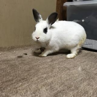 白のミニウサギと茶色のホーランドロップです