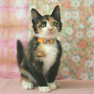 個性的な三毛柄の美猫です♪