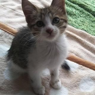 生後2か月位キジ白、やや半長毛の可愛い男の子