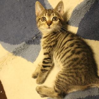 コロコロ走る可愛いキジトラ子猫2ヶ月兄妹