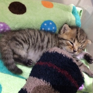 キジトラ模様の生後2~3習慣の子猫です