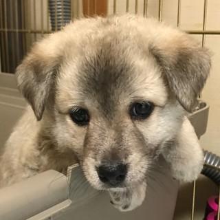 【募集停止】生後1ヶ月位、雑種の仔犬の「ゼット♂」