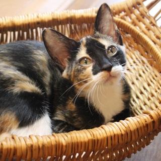 白いソックス履いた可愛い三毛猫キティちゃん