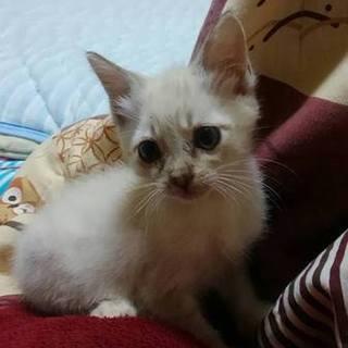 大分からブルーアイの可愛い仔猫(♀)