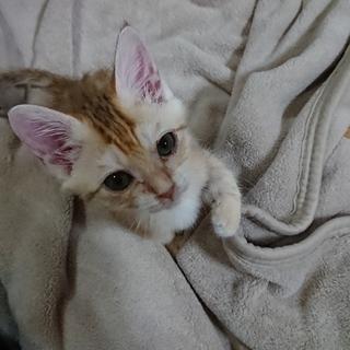 アビシニアン風子猫!