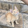 人懐っこい茶トラの子猫です(^^)