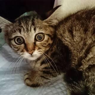 キジトラ♂3ヶ月の子猫です❤