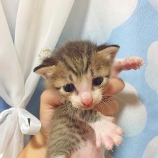 大至急です‼︎子猫ちゃんの里親さん募集中です!