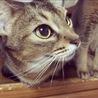 アビシニアンのメス猫ちゃん サムネイル3