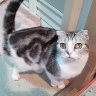 スコティッシュフォールドのメス猫ちゃん