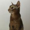 アビシニアンのオス猫ちゃん