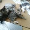 ☆生後約1ヶ月半 子猫4匹 募集中!!☆